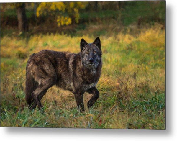 Black Wolf In Fall Colors Metal Print