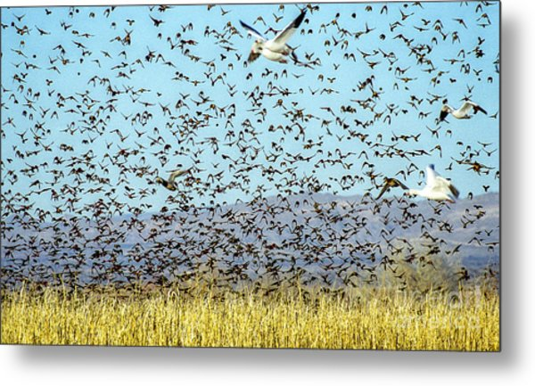 Blackbirds And Geese Metal Print