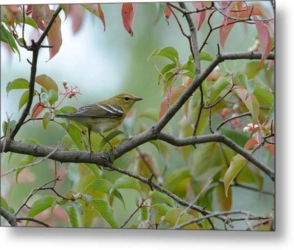 Blackpoll Warbler In The Fall Metal Print