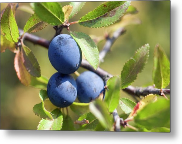 Blackthorn Berries Metal Print by Daniel Sambraus/science Photo Library