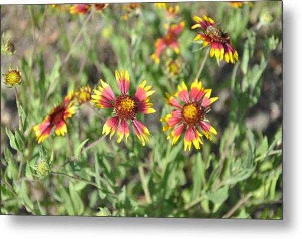 Blanketflower Metal Print