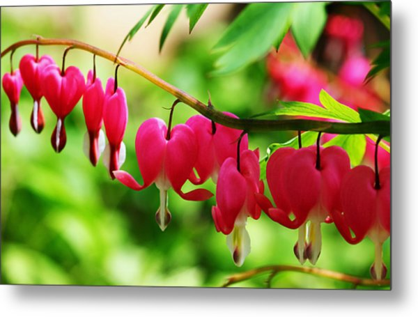 Romantic Bleeding Hearts Metal Print