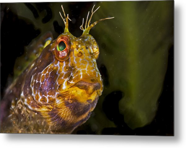 Blenny In Deep Thought Metal Print