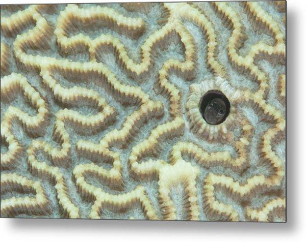 Blenny In Hard Coral Metal Print