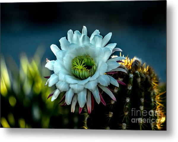 Blooming Argentine Giant Metal Print