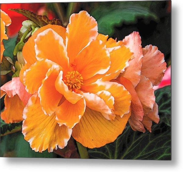Blooming Begonia Image 1 Metal Print
