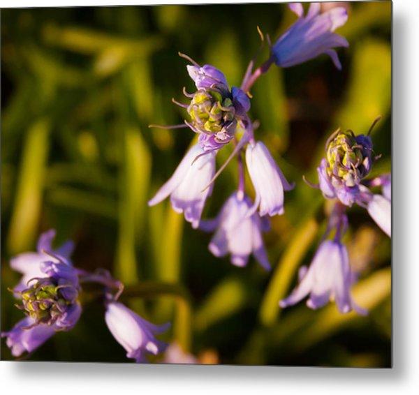 Blooming Bluebells Metal Print