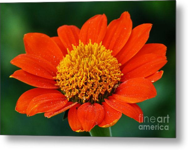 Blooming Flower Metal Print