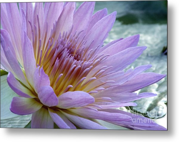 Bloom's Blush Metal Print