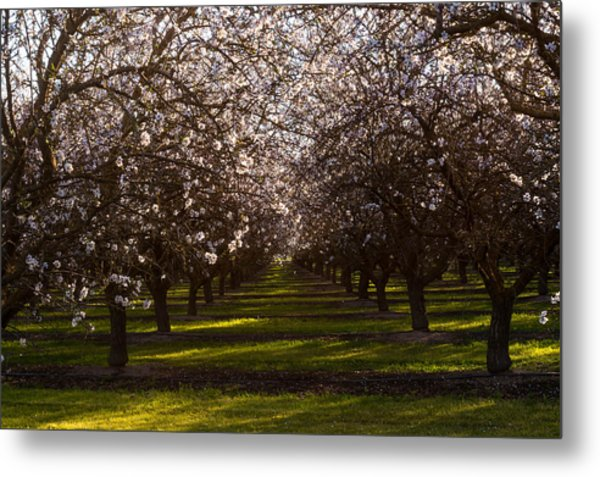 Metal Print featuring the photograph Blossom Tunnel  by Priya Ghose