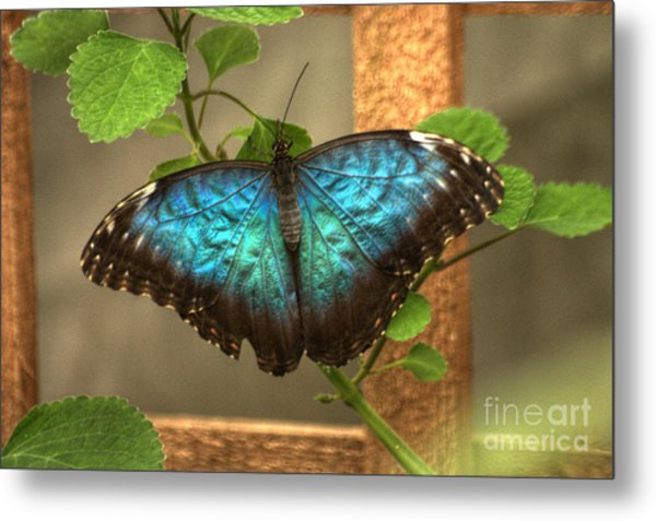Blue And Black Butterfly Metal Print