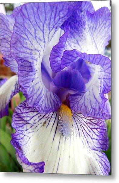 Blue And White Iris Closeup Metal Print by Virginia Forbes