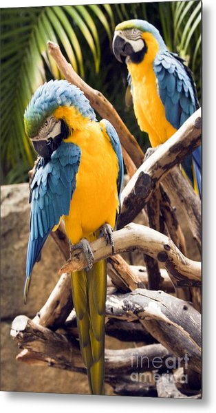 Blue And Yellow Macaw Pair Metal Print