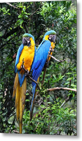 Blue And Yellow Macaws Metal Print