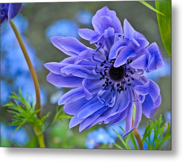 Blue Anemone Flower Blowing In The Wind Metal Print