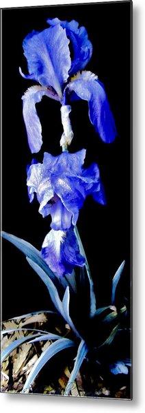 Blue Bearded Rhizomatous Irises Metal Print
