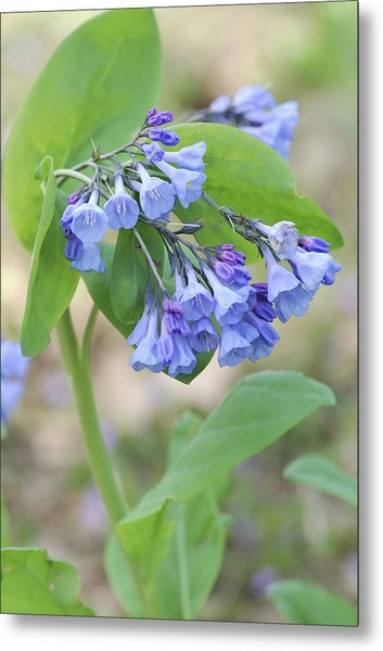 Blue Bells Of Lapsley's Run Metal Print