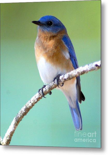 Blue Bird Portrait Metal Print