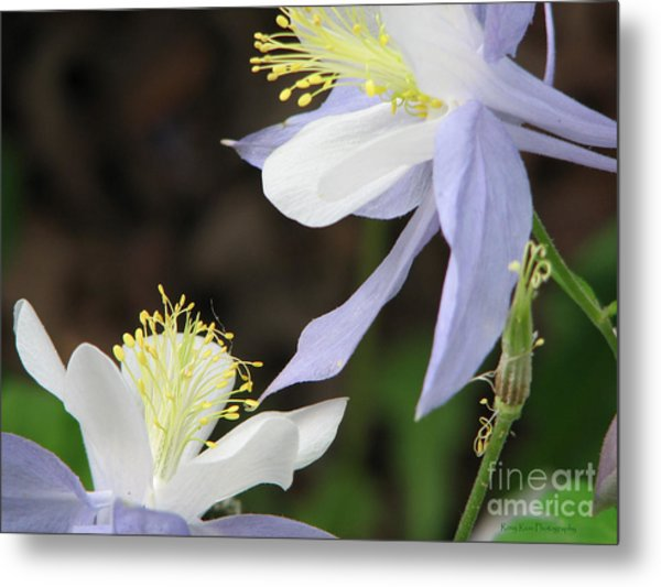 Blue Columbine Metal Print