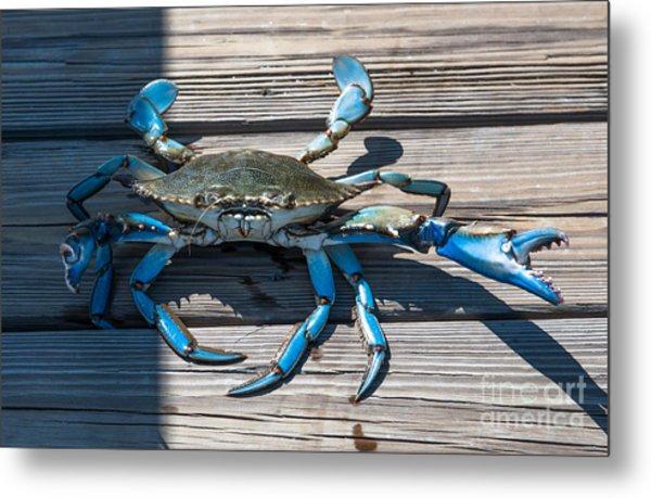 Blue Crab Pincher Metal Print