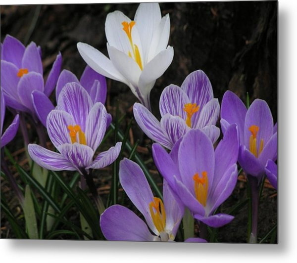 Blue Crocus Metal Print