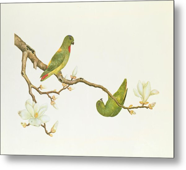 Blue Crowned Parakeet Hannging On A Magnolia Branch Metal Print
