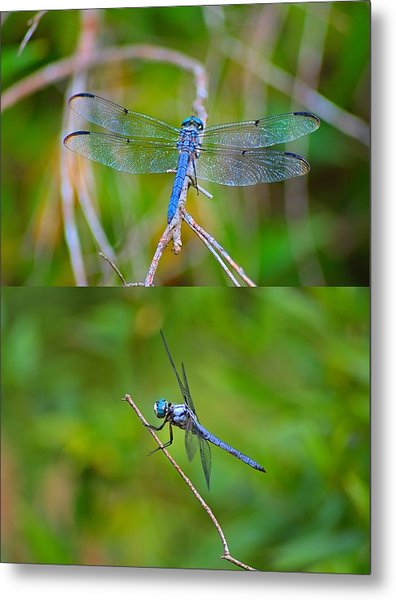 Blue Dragon Fly Metal Print