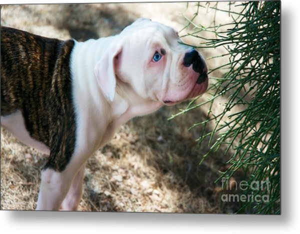 Blue Eye Pup Metal Print by Berta Keeney
