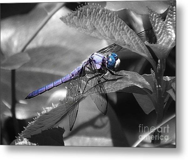 Blue Eyed Dragonfly Metal Print