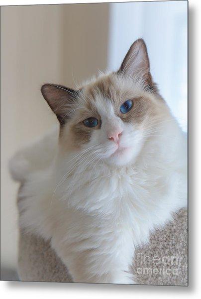 Blue-eyed Ragdoll Kitten Metal Print