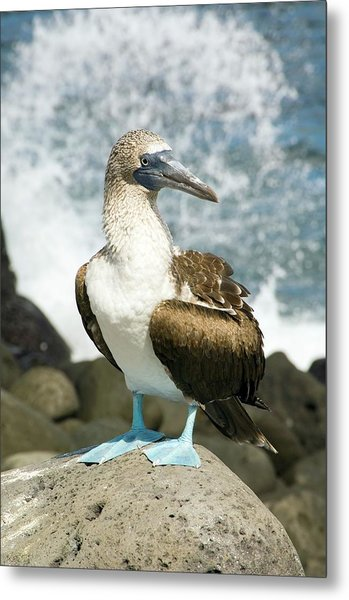 Blue-footed Booby Metal Print