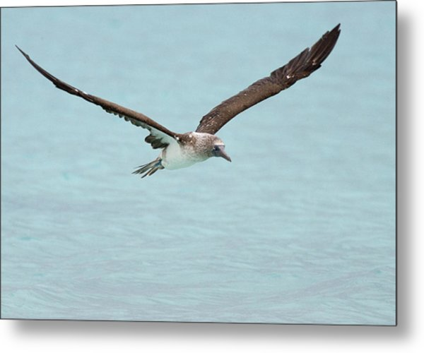 Blue-footed Booby In Flight Metal Print