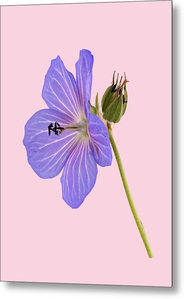 Metal Print featuring the photograph Blue Geranium - Pink Background by Paul Gulliver