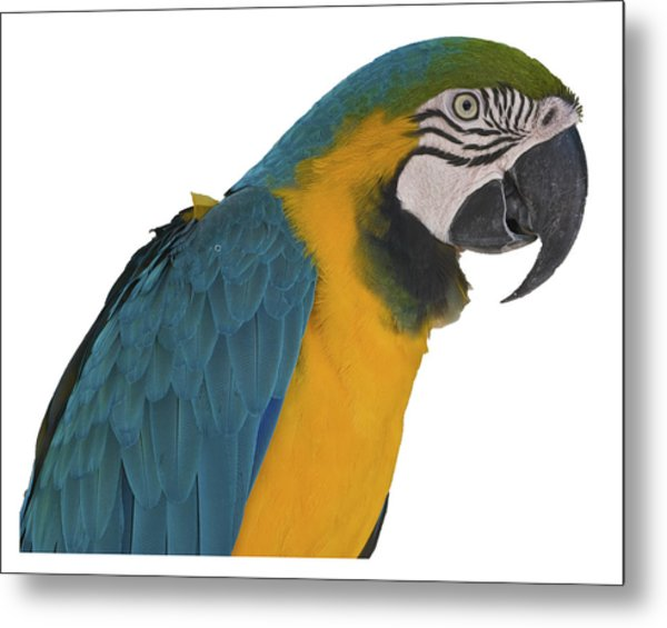 Blue Gold Macaw Metal Print
