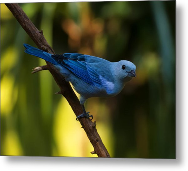 Blue Grey Tanager Metal Print