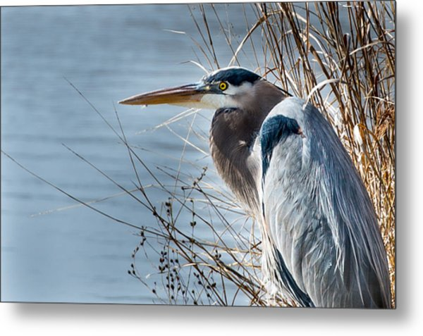 Blue Heron At Pond Metal Print