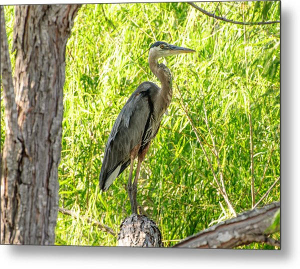 Blue Heron At Rest Metal Print