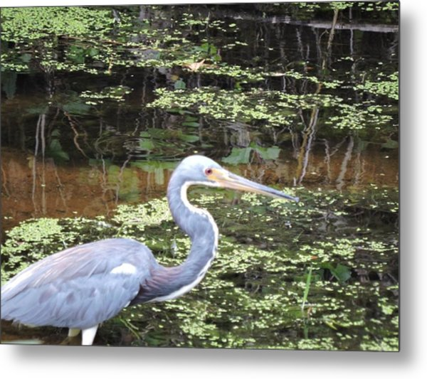 Blue Heron Close Up Metal Print by Beth Williams