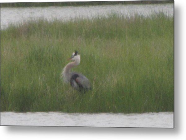 Blue Heron In Full Dress Metal Print by Debbie Nester