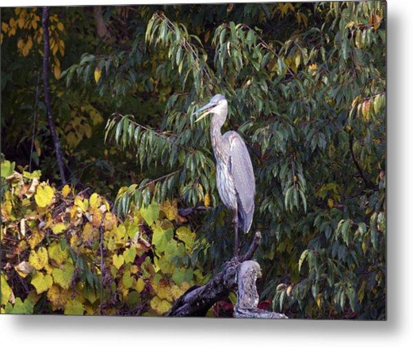 Blue Heron Perched In Tree Metal Print