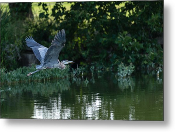Blue Heron Take-off Metal Print