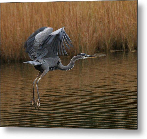 Blue Heron Takes Flight Metal Print