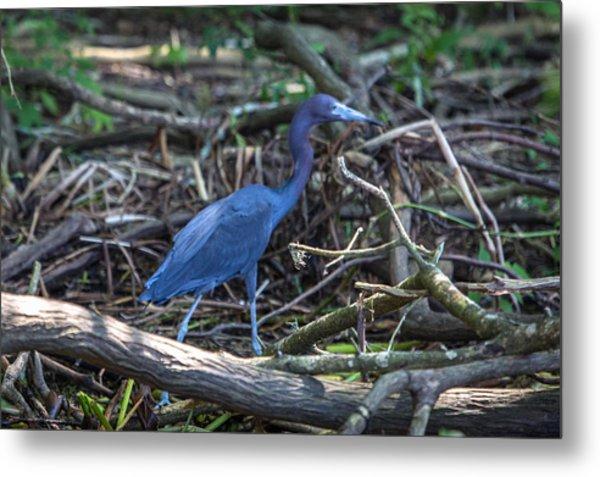 Little Blue Heron On The Banks Of An Atchafalya Bayou Metal Print
