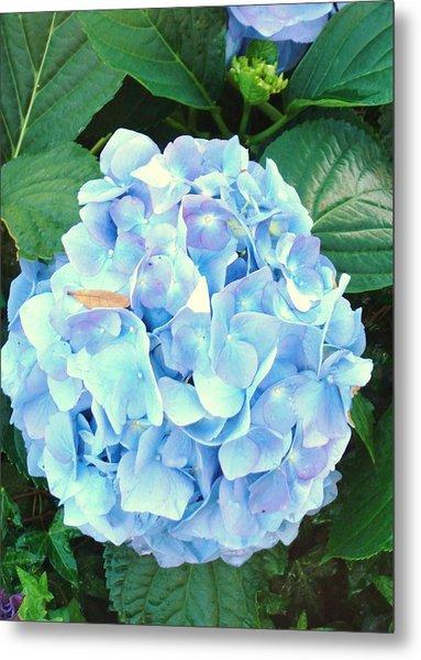 Blue Hydrangea Metal Print by Van Ness