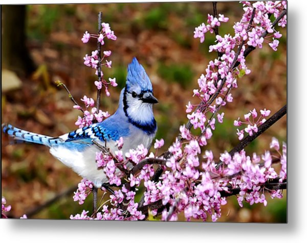 Blue Jay In The Pink Metal Print