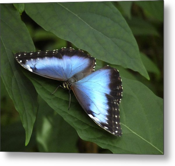 Blue Morpho Butterfly I. Metal Print