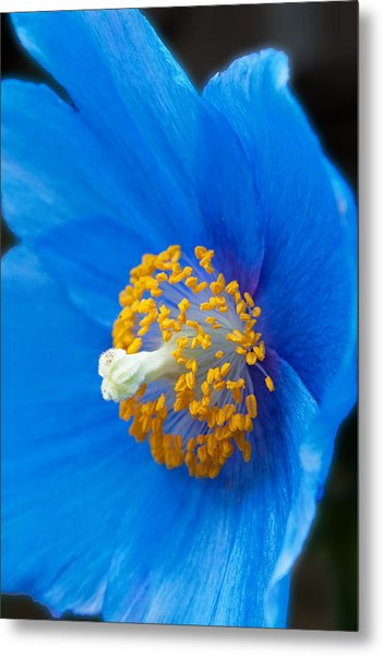 Blue Poppy Metal Print