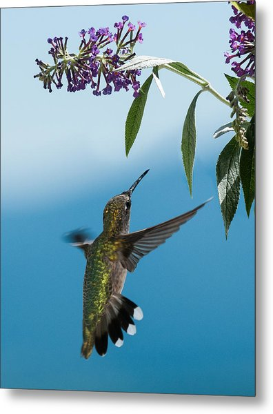 Blue Ridge Hummingbird Metal Print