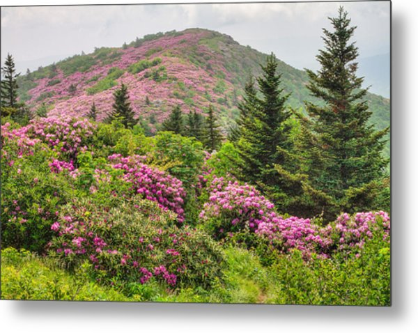 Blue Ridge Mountain Rhododendron - Roan Mountain Bloom Extravaganza Metal Print