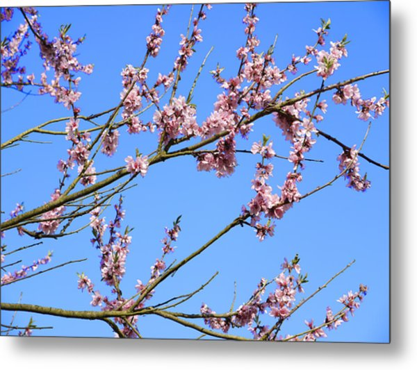 Blue Sky And Pink Blossom. Metal Print